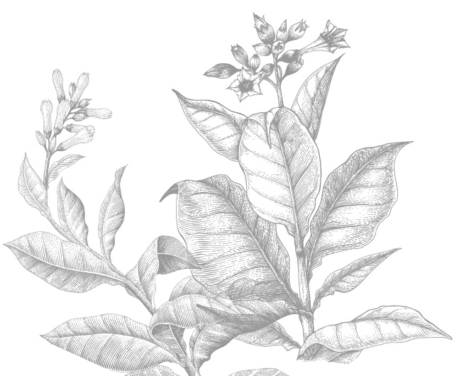 Black and White Sketch of Tobacco Plant